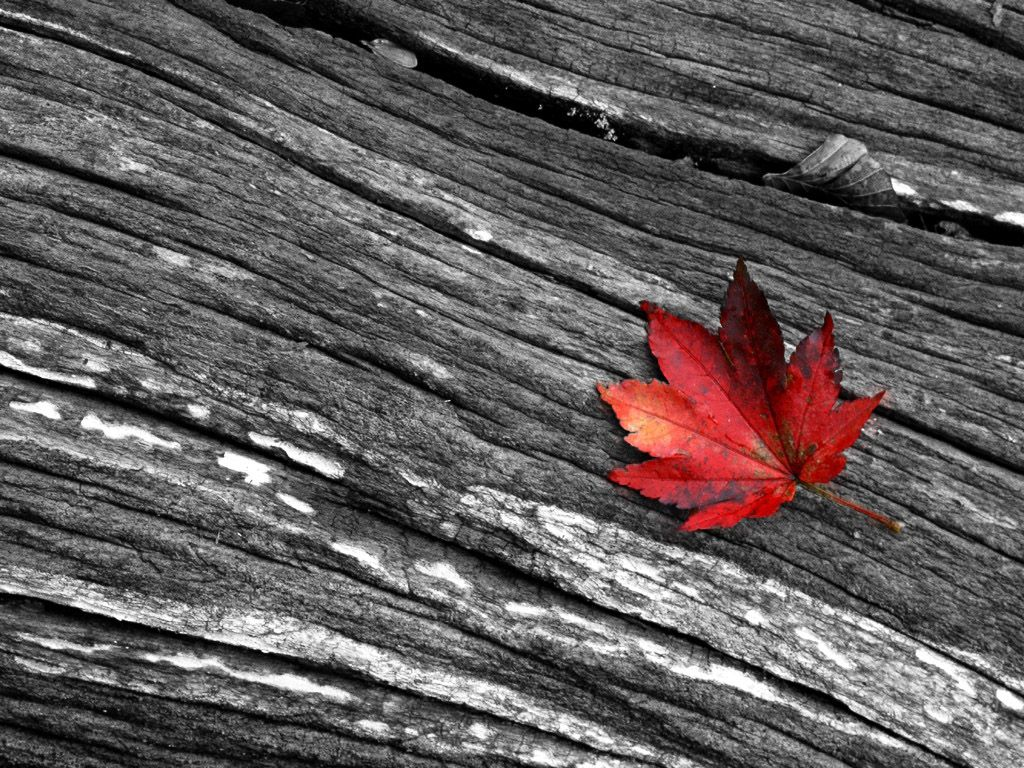a red leaf wallpapers | a red leaf stock photos