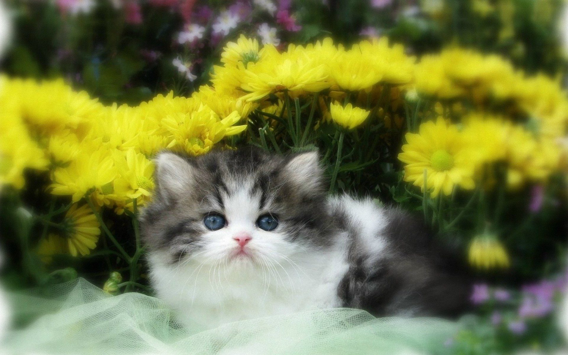 1920x1200 adorable persian kitten desktop pc and mac wallpaper