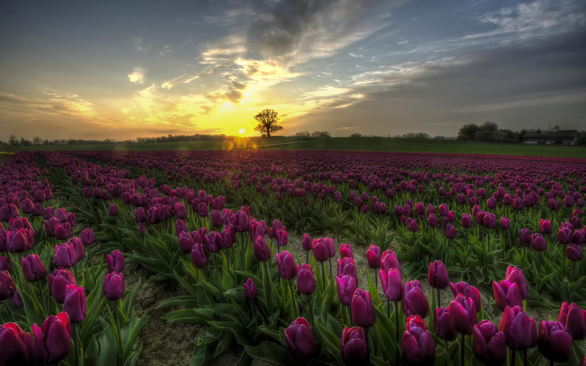 amazing tulips field purple wallpapers amazing tulips