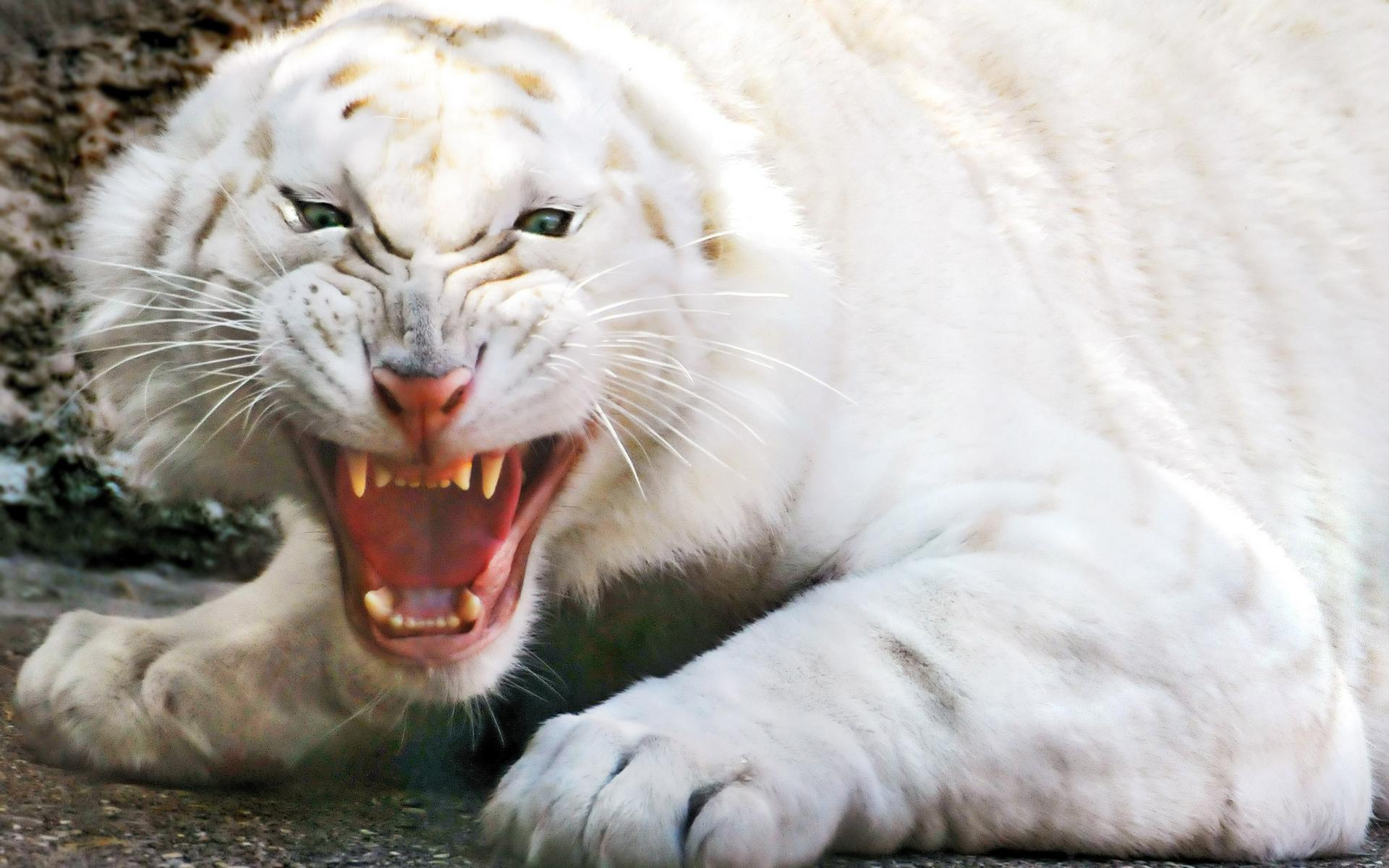 Angry white tiger wallpapers | Angry white tiger stock photos
