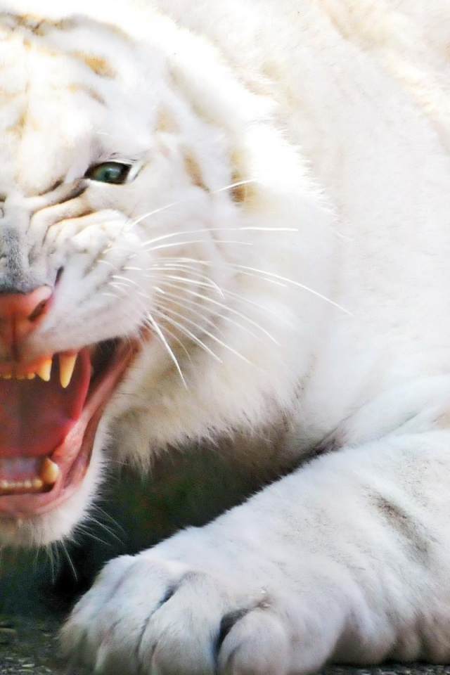 640x960 Angry White Tiger Iphone 4 Wallpaper