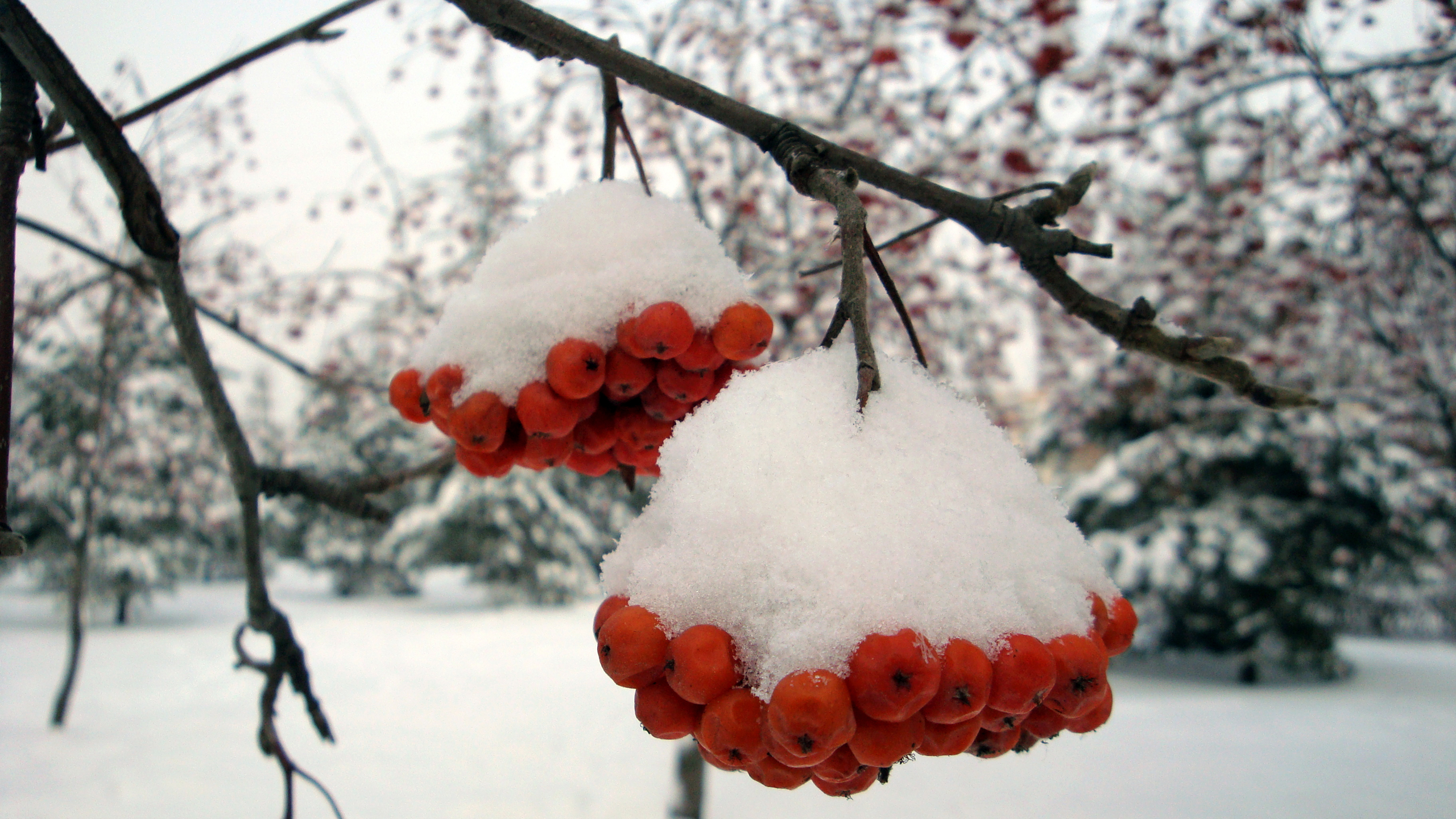 Ashberry With Snow Wallpapers Ashberry With Snow Stock Photos