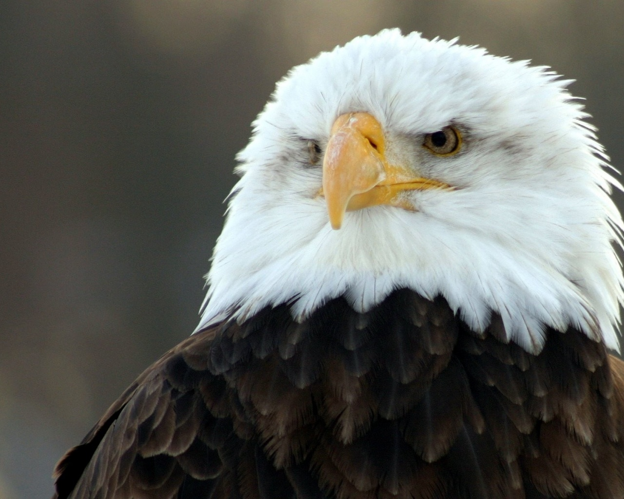 eagle 1280x1024 wallpaper -#main