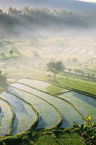 320x480 Bali Rice Fields Iphone 3g Wallpaper