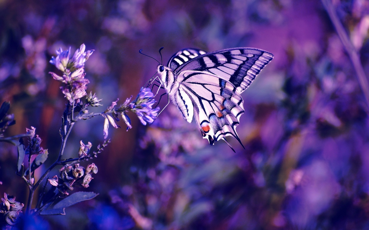 1280x800 beautiful butterfly desktop pc and mac wallpaper