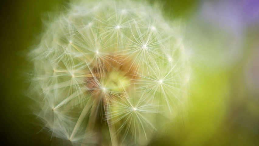 825x315 Beautiful Dandelion