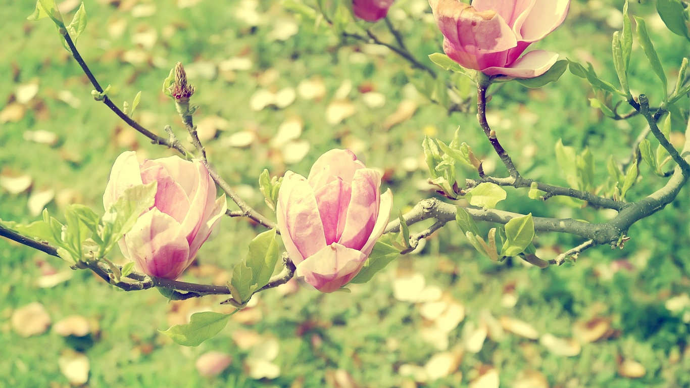 1366x768 Beautiful Flower Blossoms