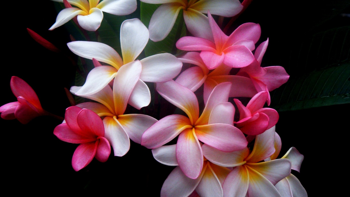 1366x768 Beautiful Flowers Desktop PC And Mac Wallpaper
