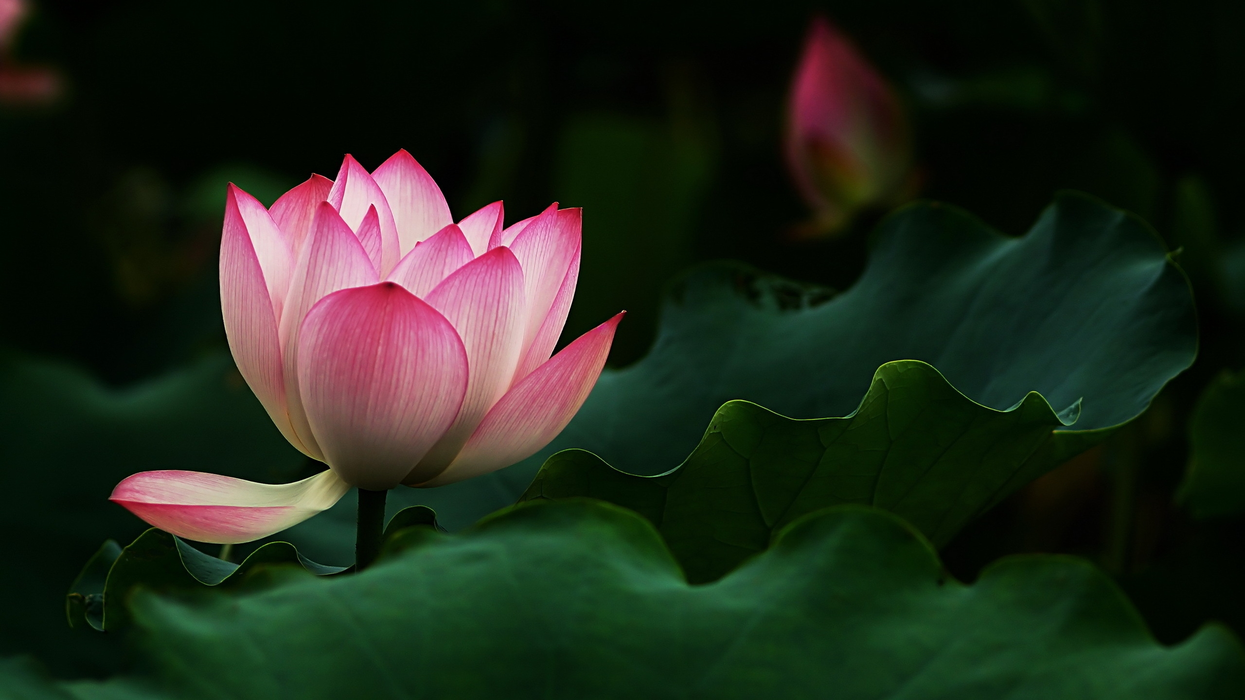 How to plant a lotus youtube - 2560x1440 Beautiful Lotus Flower