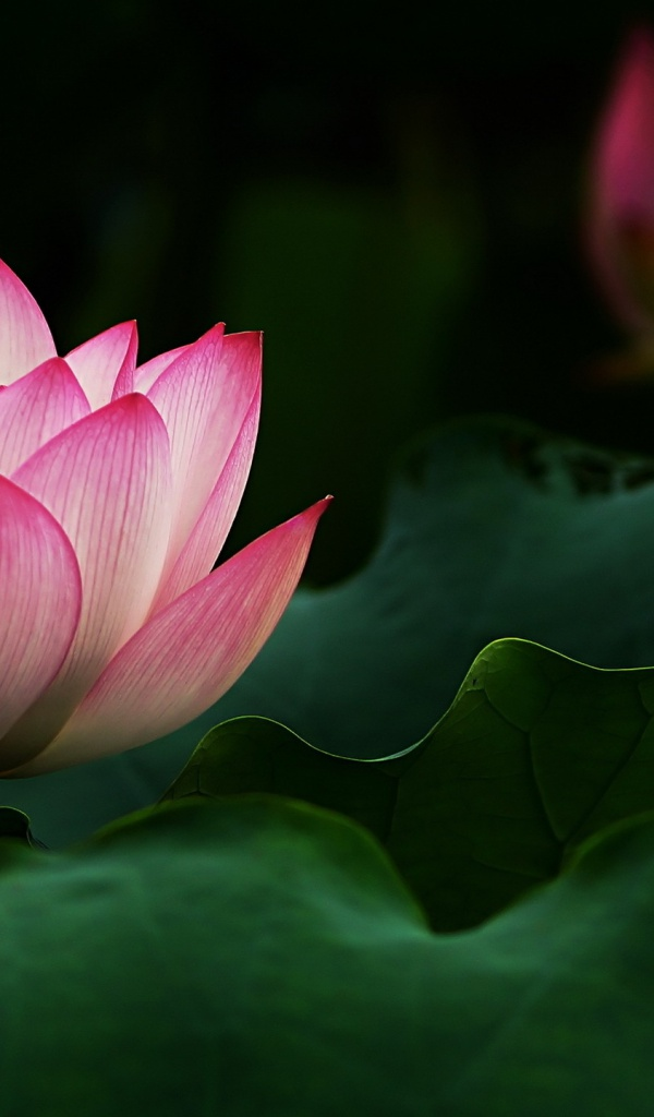 600x1024 beautiful lotus flower galaxy tab 2 wallpaper mightylinksfo
