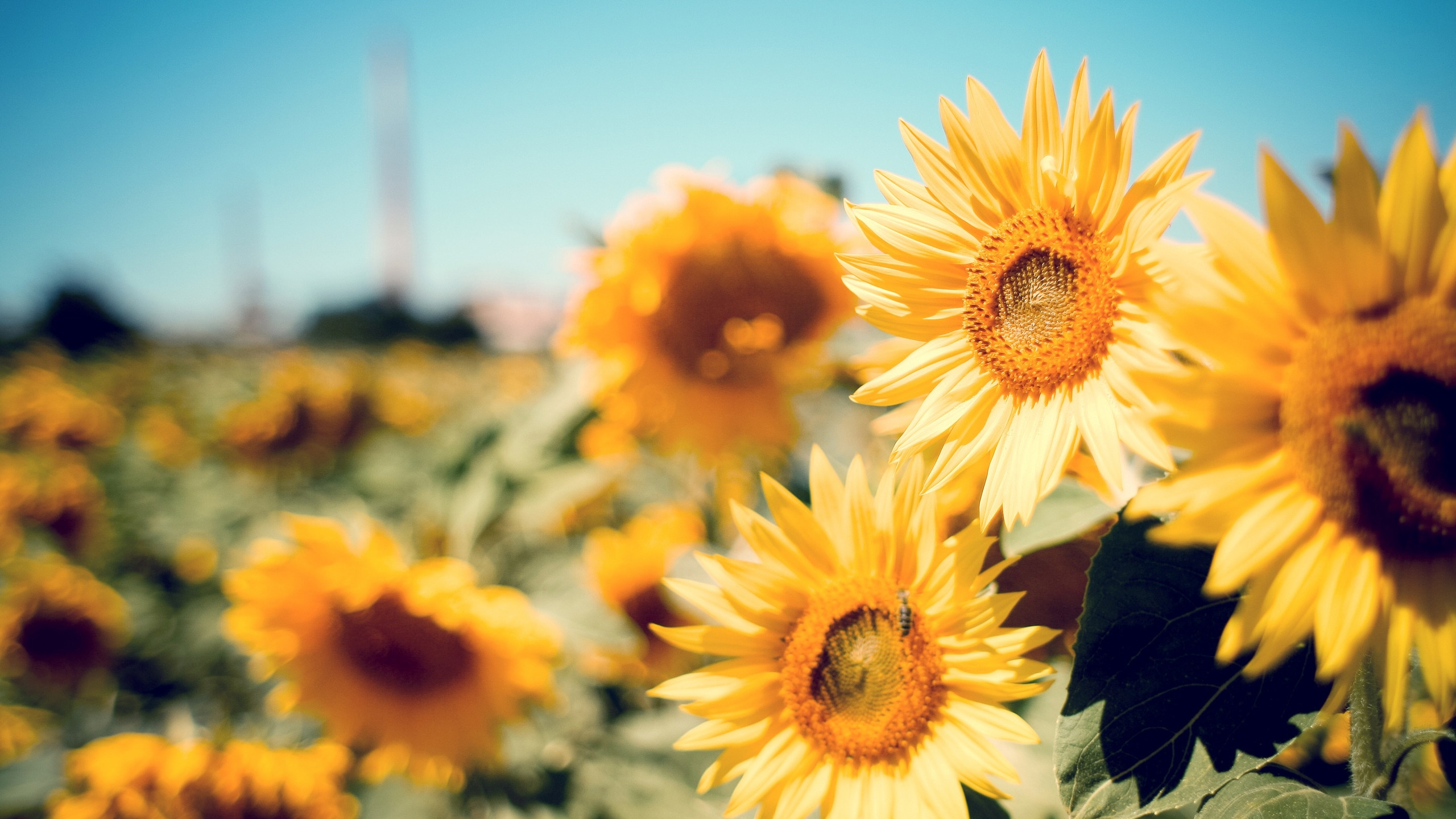 2560x1440 Beautiful Sunflowers Desktop Pc And Mac Wallpaper
