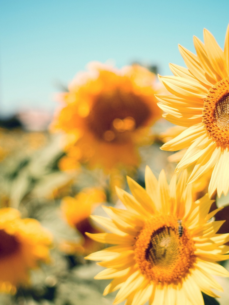 768x1024 beautiful sunflowers ipad mini wallpaper