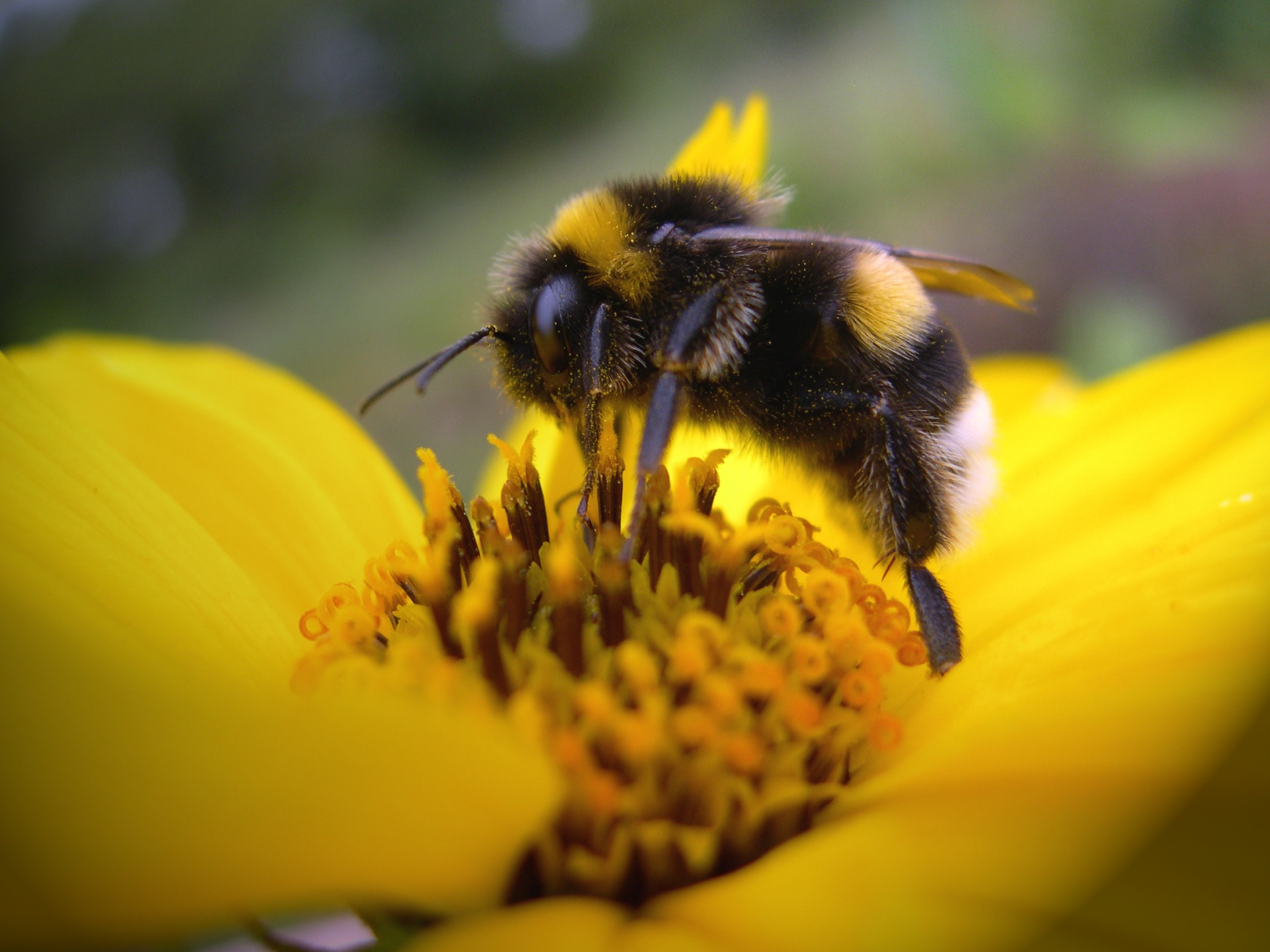 Bee On Yellow Flower Wallpapers