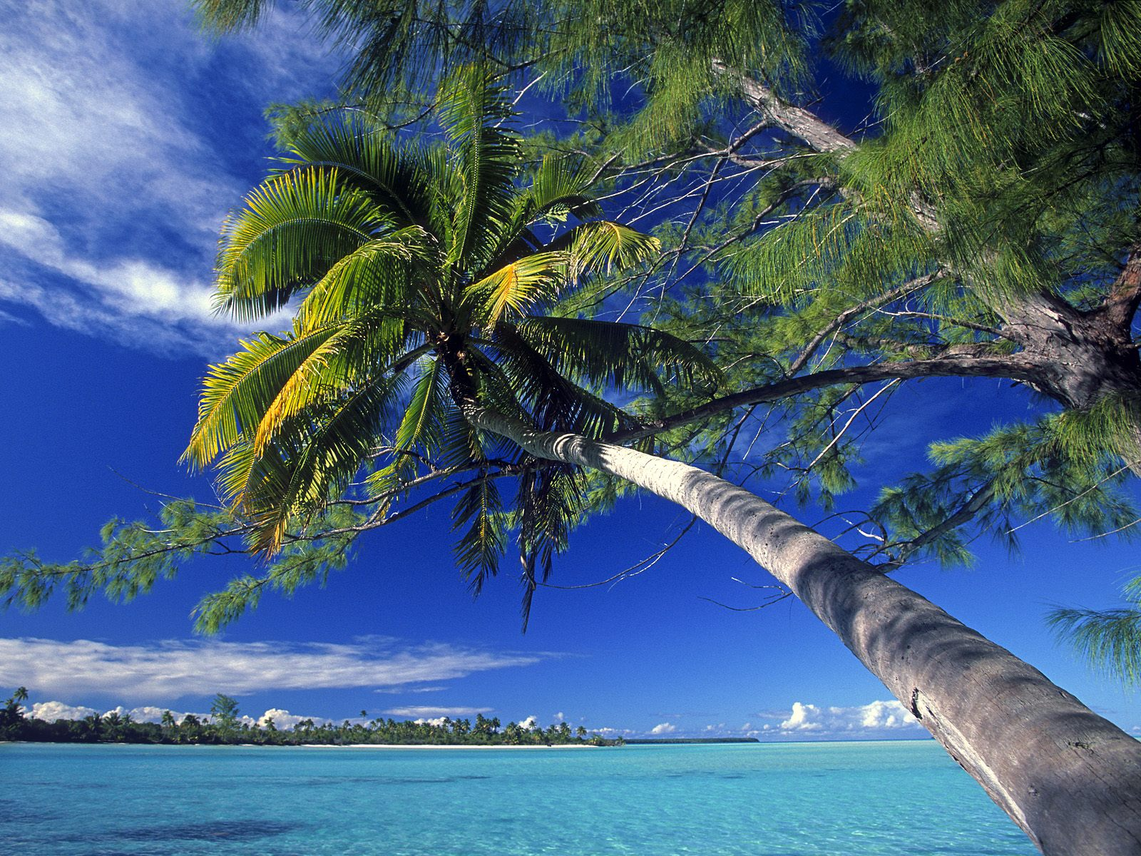 1600x1200 Bended Palm Tree desktop wallpapers and stock photos