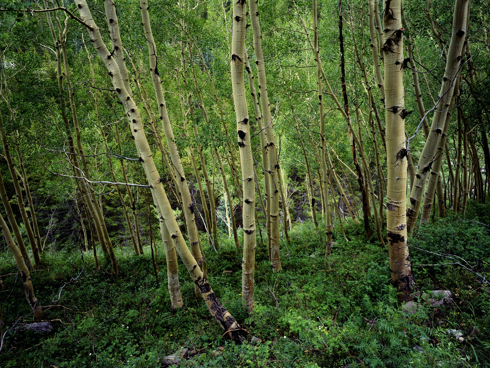 birch forest wallpapers birch forest stock photos