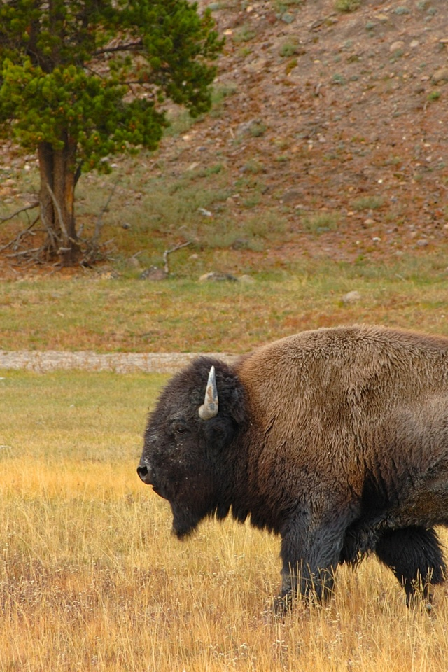 640x960 Bison In The Field Iphone 4 Wallpaper