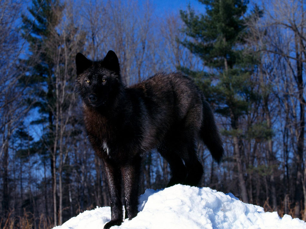 Black Wolf in the Snow wallpapers | Black Wolf in the Snow ...