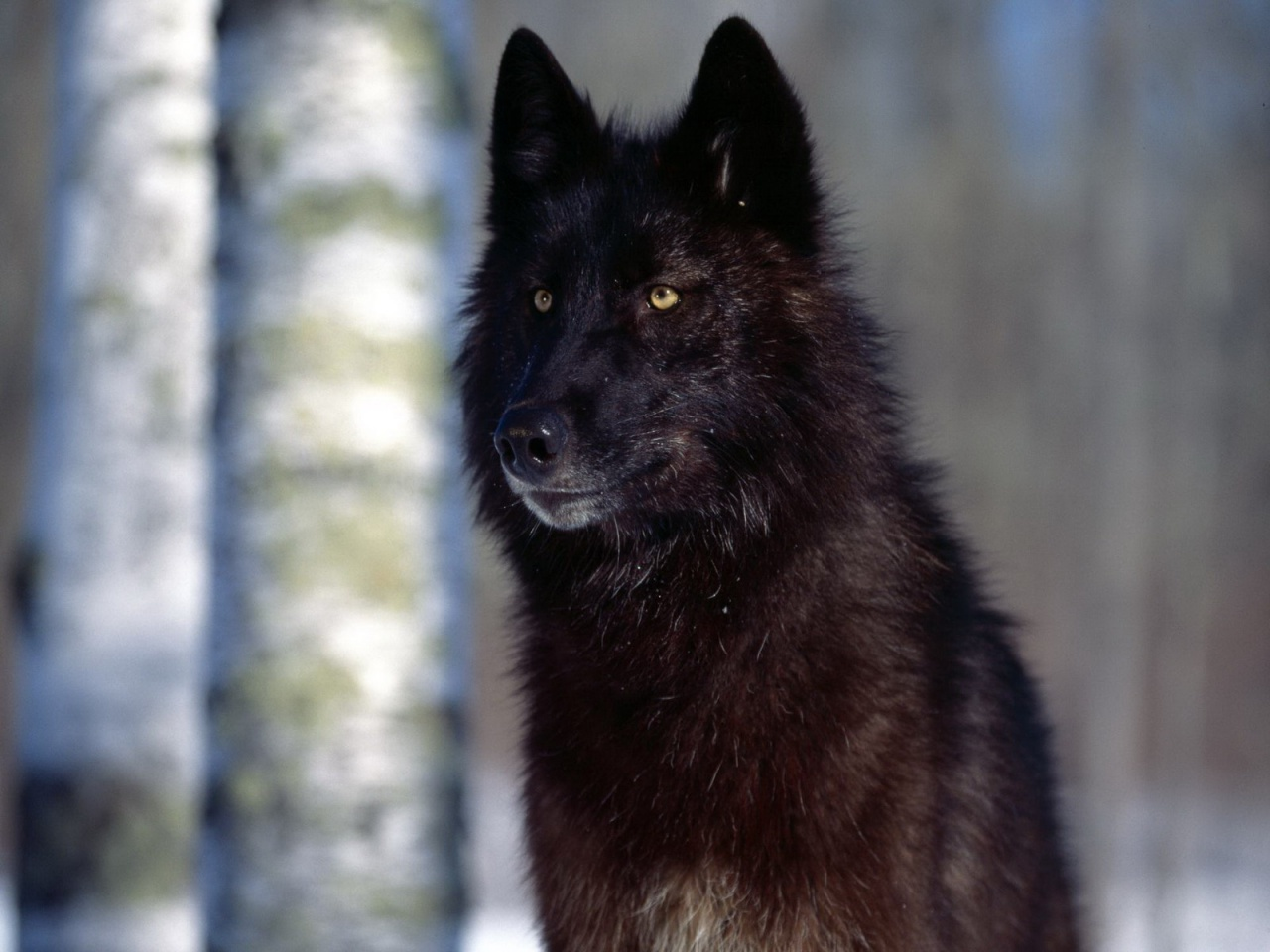 Good Wallpaper Mac Wolf - black-wolf_wallpapers_7664_1280x1024  Snapshot_857926.jpg