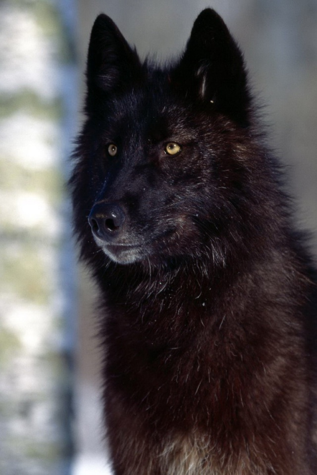 640x960 black wolf iphone 4 wallpaper
