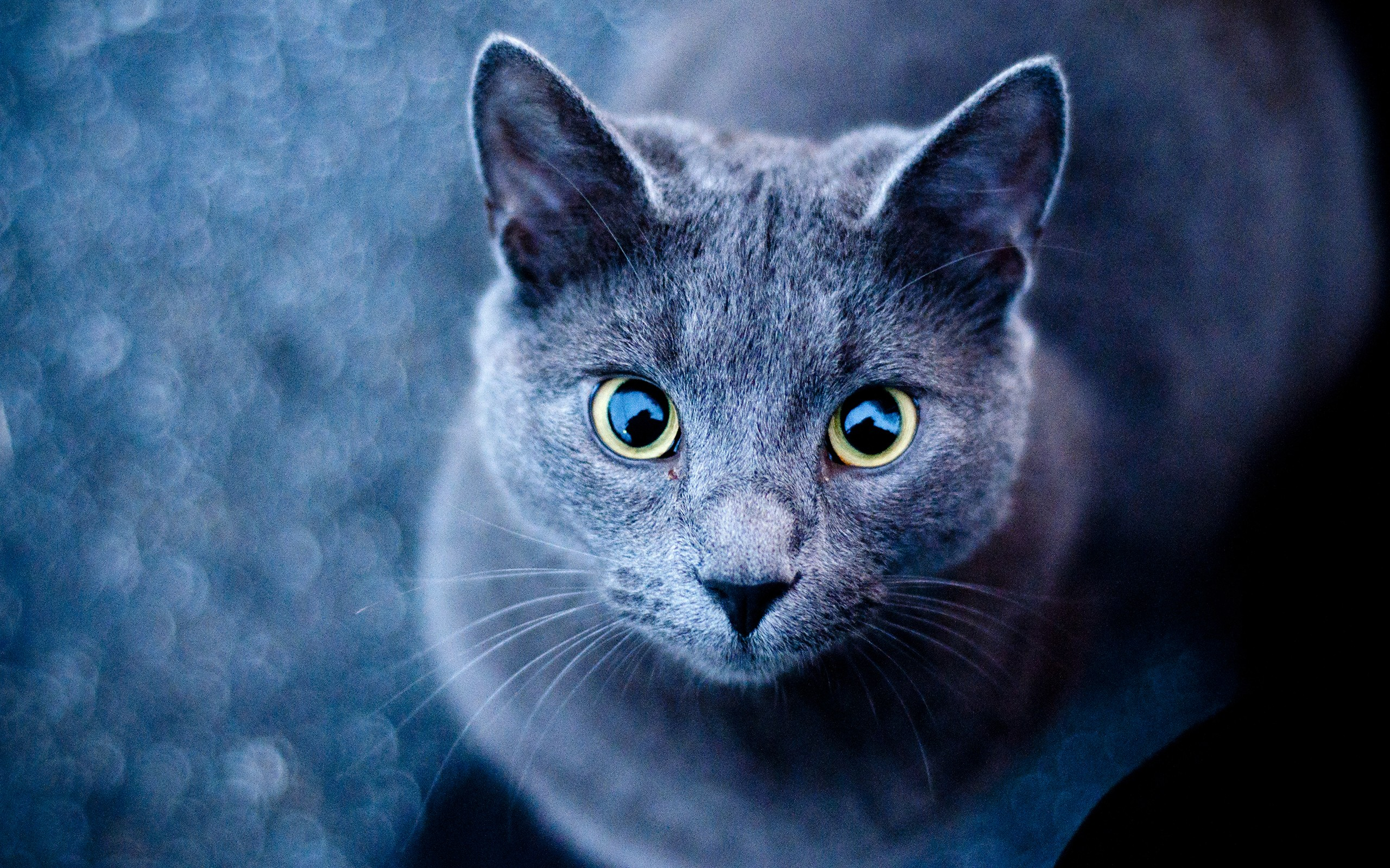 Image Blue Cat Green Eyes Wallpapers And Stock Photos