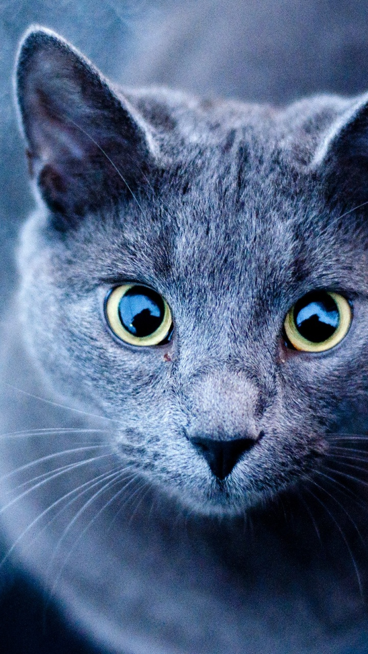 Good Cat Wallpaper For Your Phone - blue-cat-green-eyes_wallpapers_38302_720x1280  Photograph_85655 .jpg
