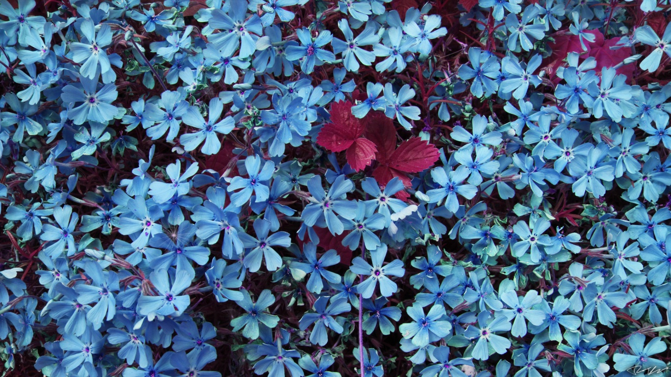 1366x768 Blue Flowers desktop PC and Mac wallpaper