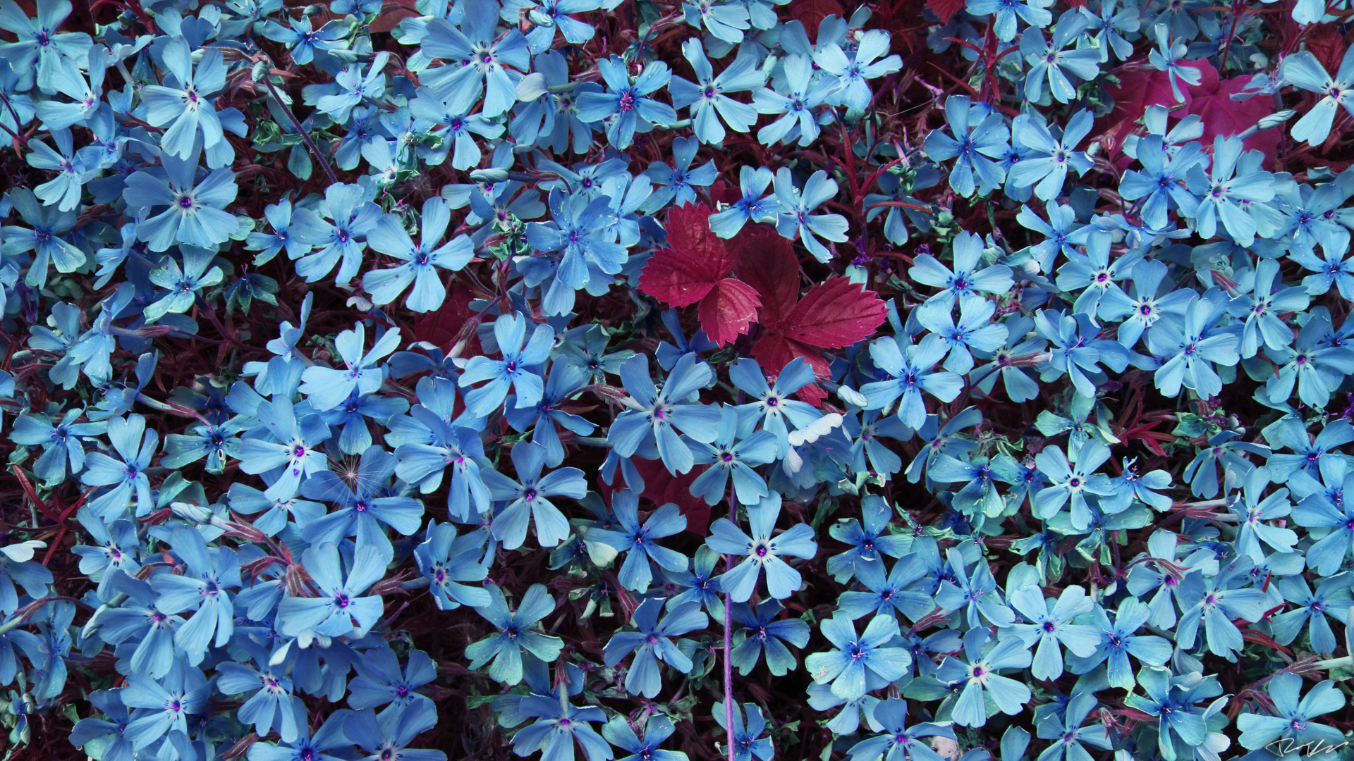 blue flowers wallpaper 702798