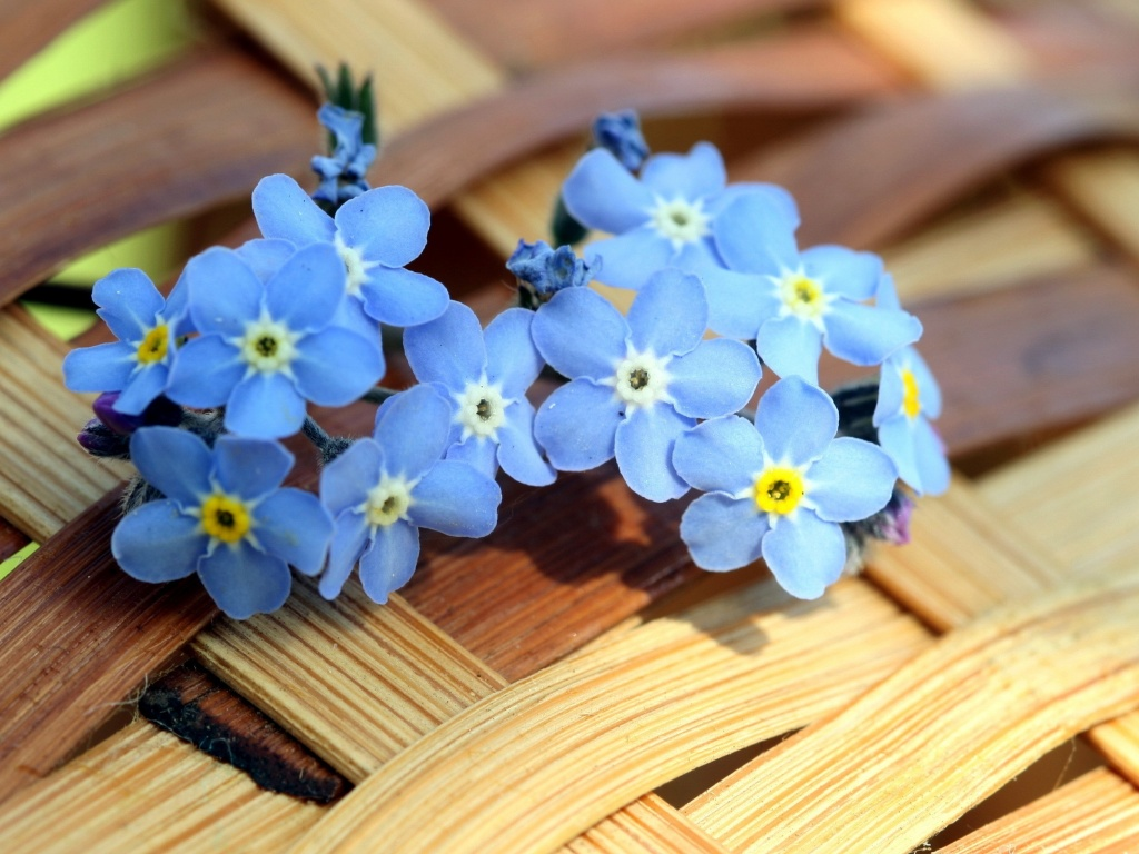 1024x768 Blue Forget-me-not Flowers