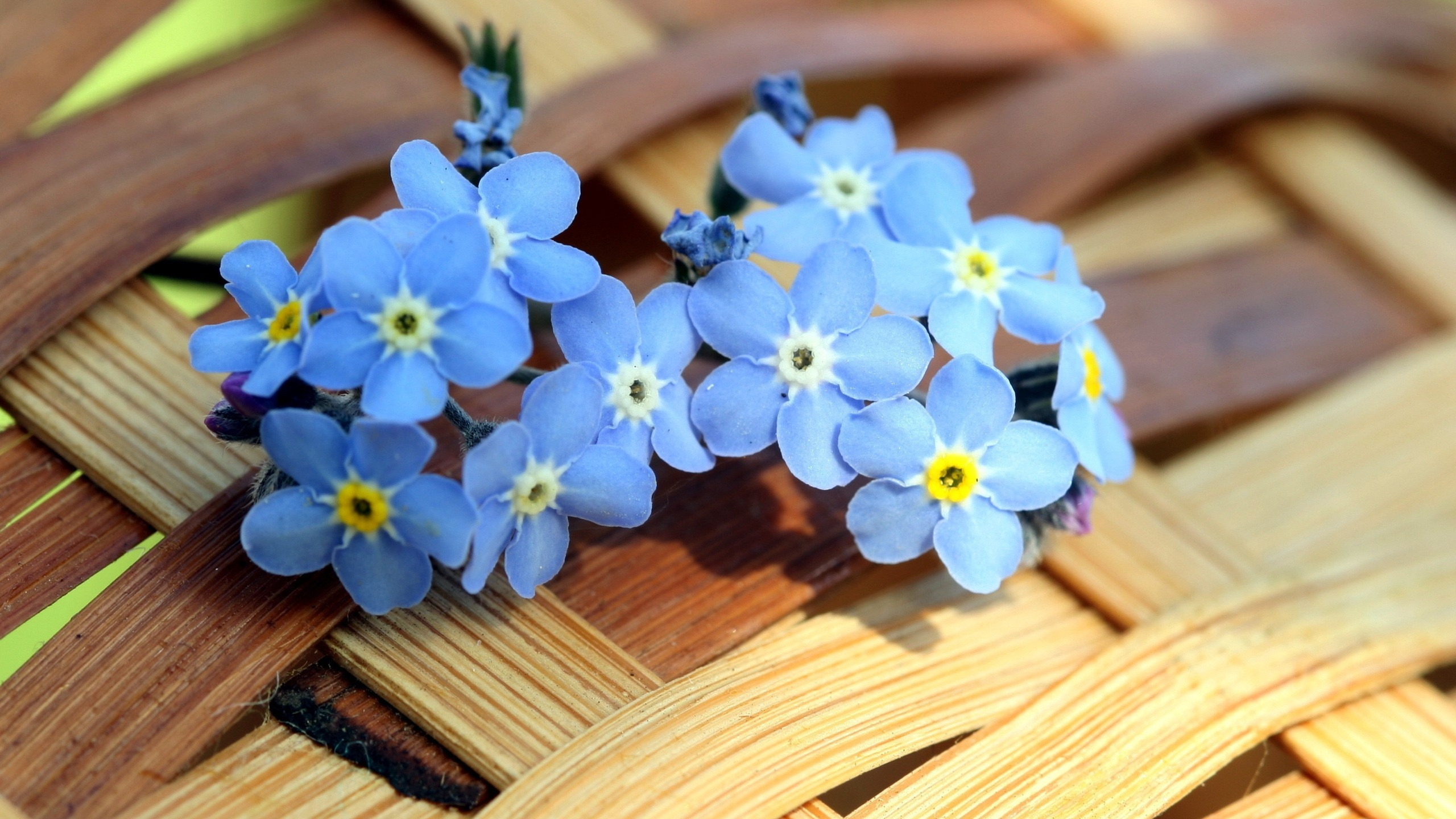2560x1440 Blue Forget-me-not Flowers