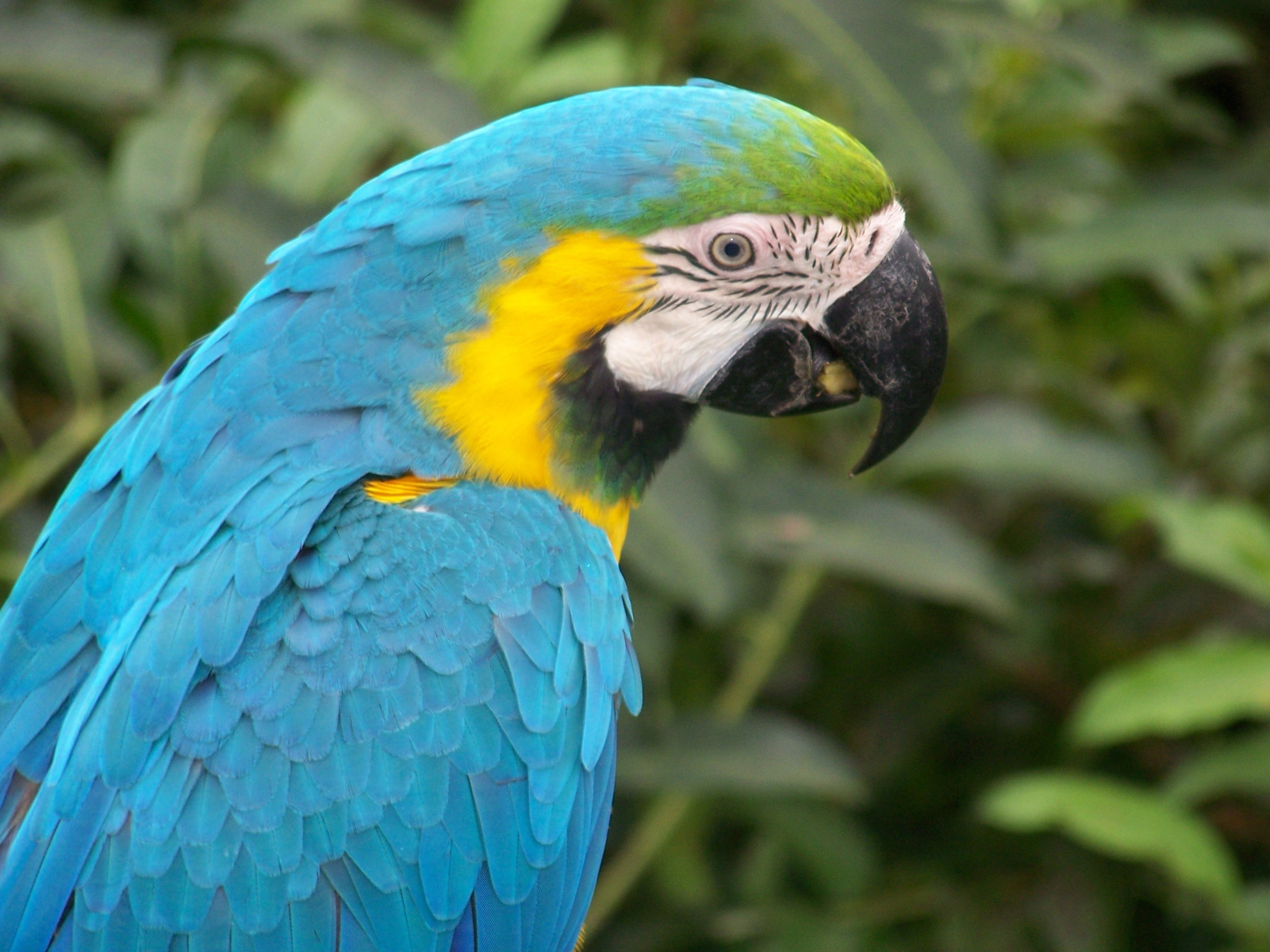 2560x1920 Blue Macaw Parrot desktop wallpapers and stock photos