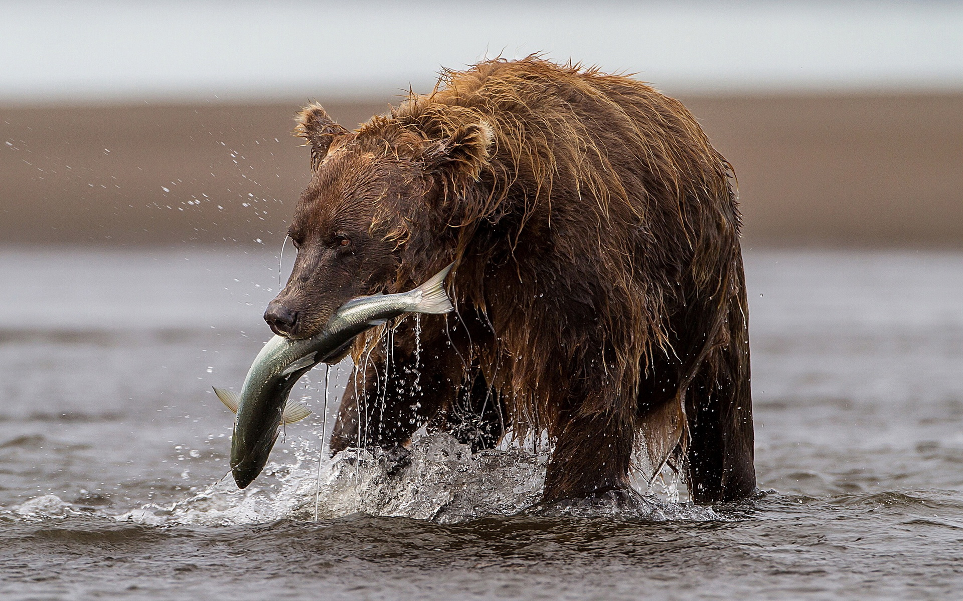 brown bear with fish wallpapers brown bear with fish