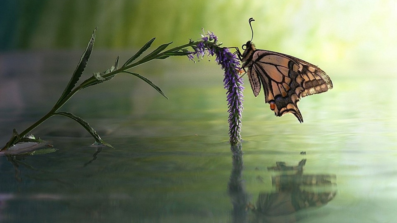 1280x720 Butterfly Flower Water Reflect