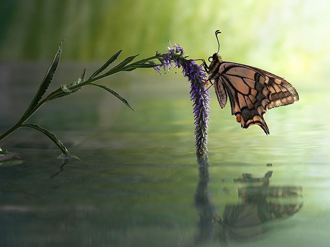 1280x960 Butterfly Flower Water Reflect