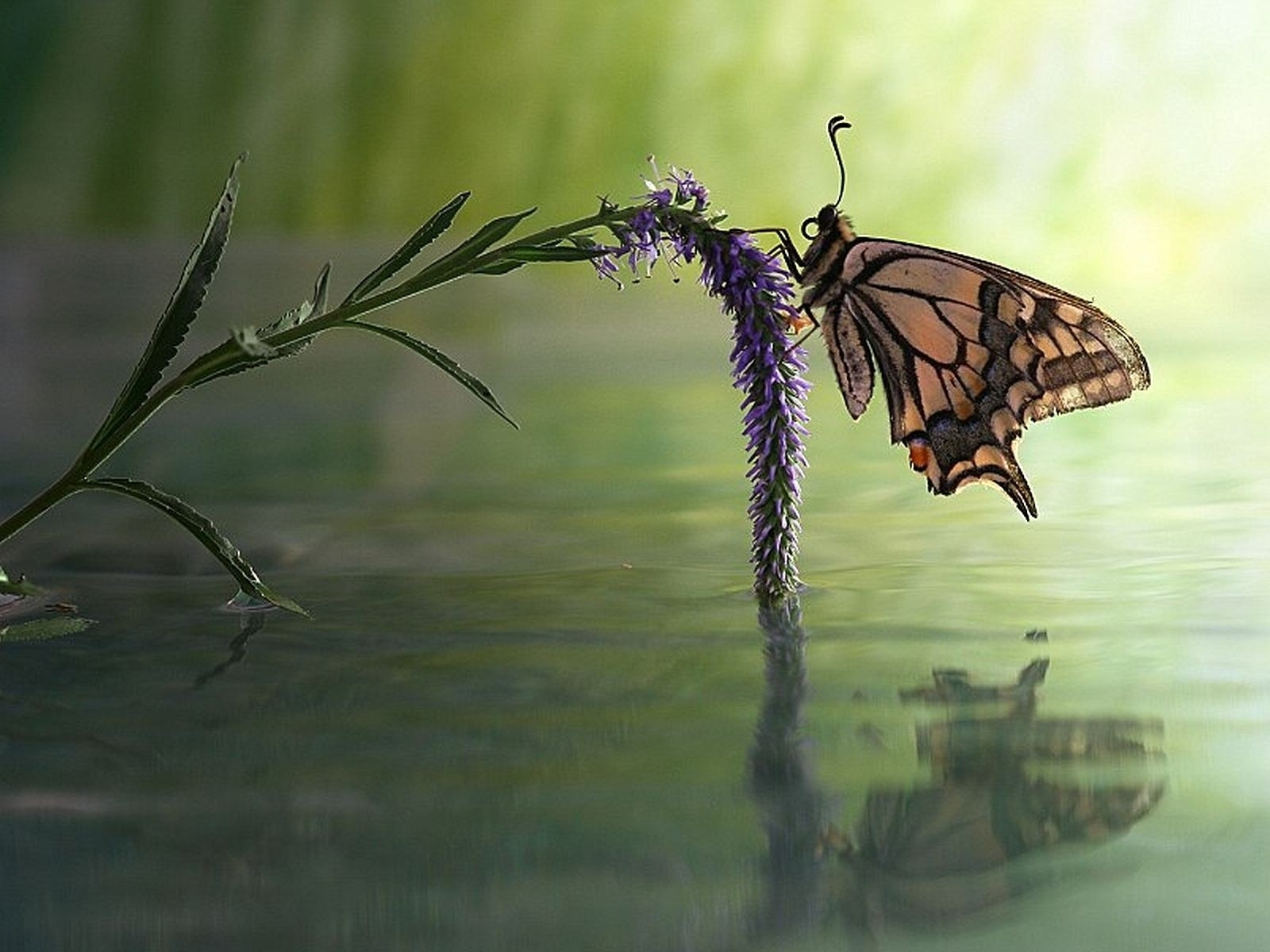 1600x1200 Butterfly Flower Water Reflect