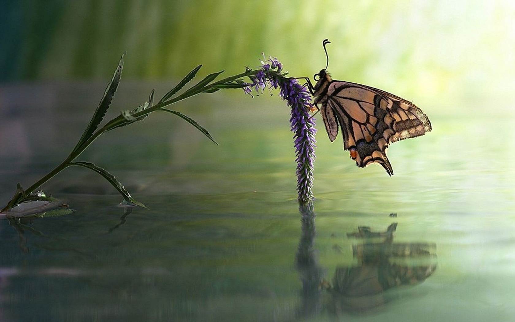 1680x1050 Butterfly Flower Water Reflect