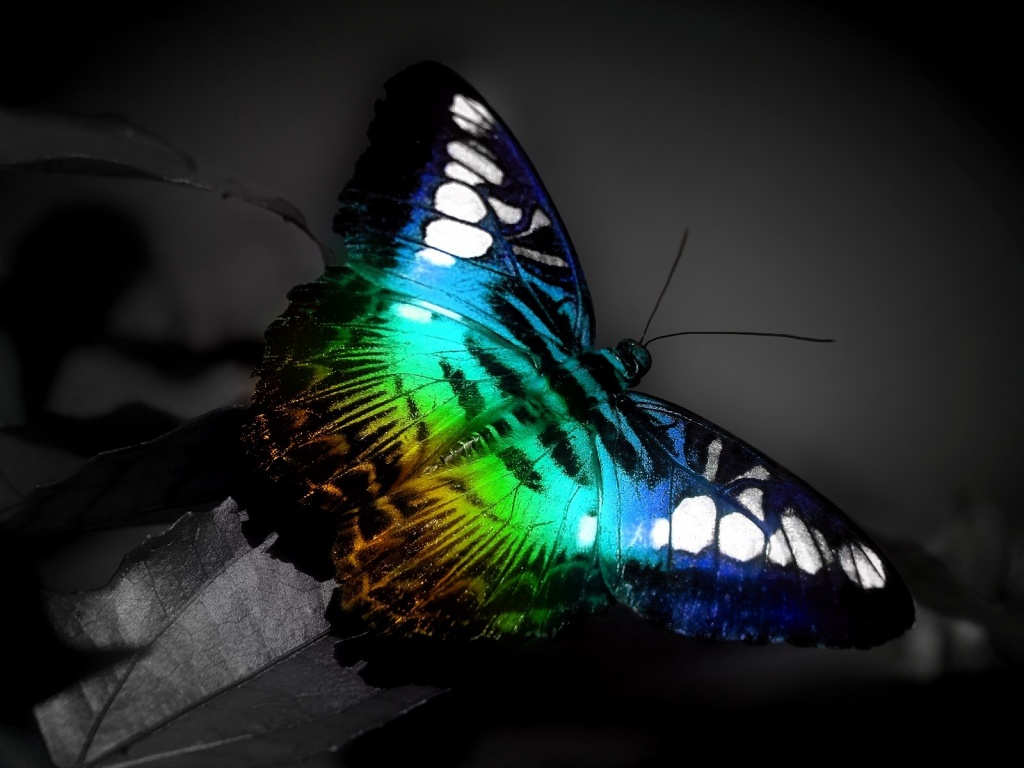1024x768 Butterfly desktop PC and Mac wallpaper