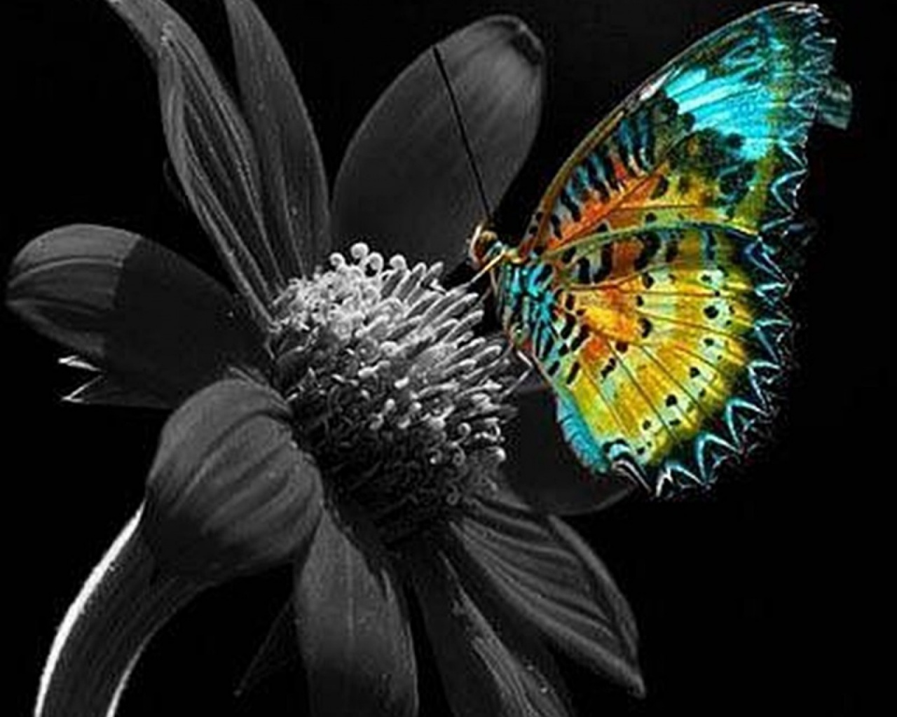 1280x1024 Calico Butterfly Plain Flower Desktop PC And Mac Wallpaper