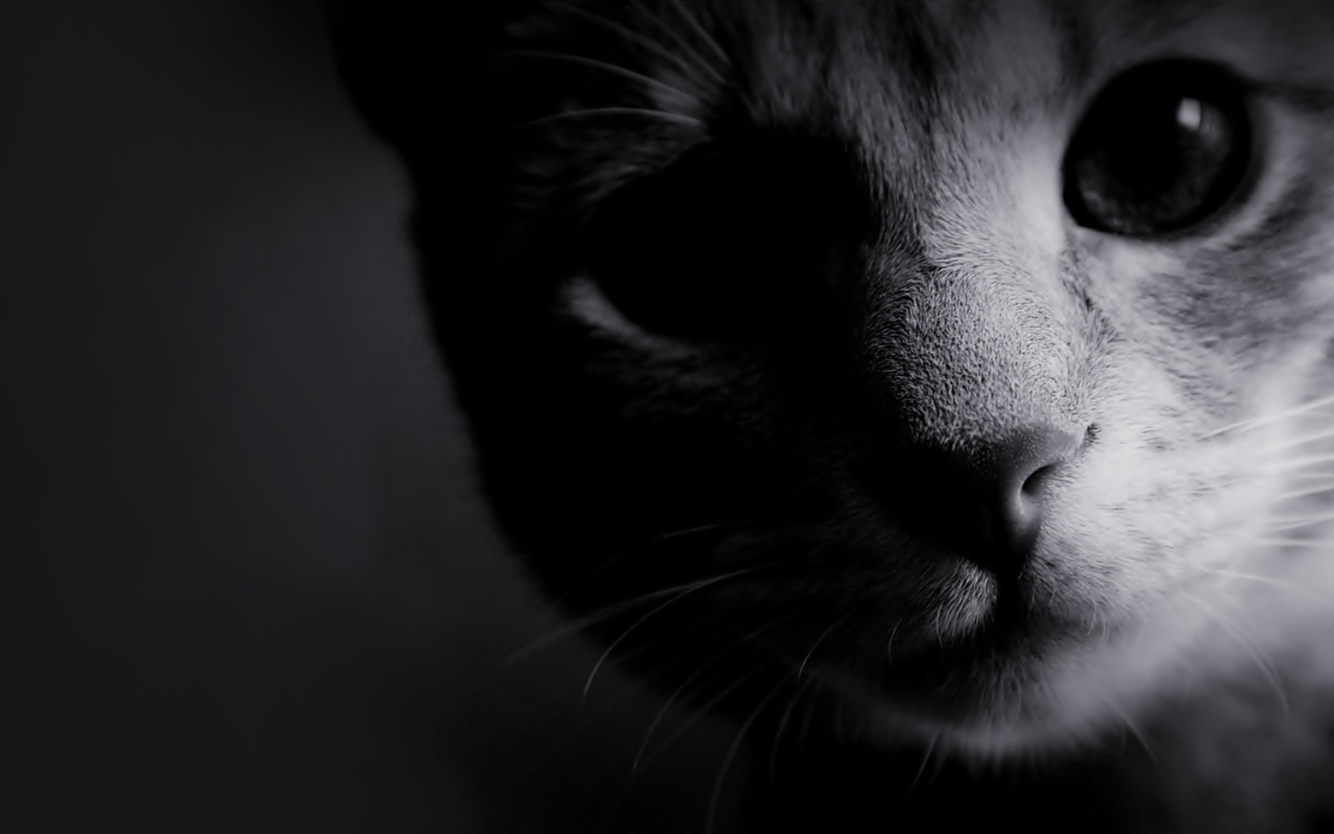 Cat Close-up Monochrome wallpapers | Cat Close-up Monochrome stock HD Wide Wallpaper for Widescreen