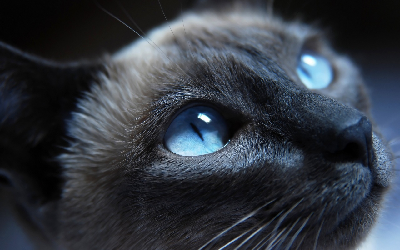 1280x800 Cat With Blue Eyes Desktop PC And Mac Wallpaper