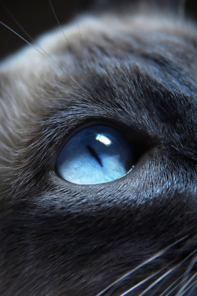 640x960 cat with blue eyes iphone 4 wallpaper
