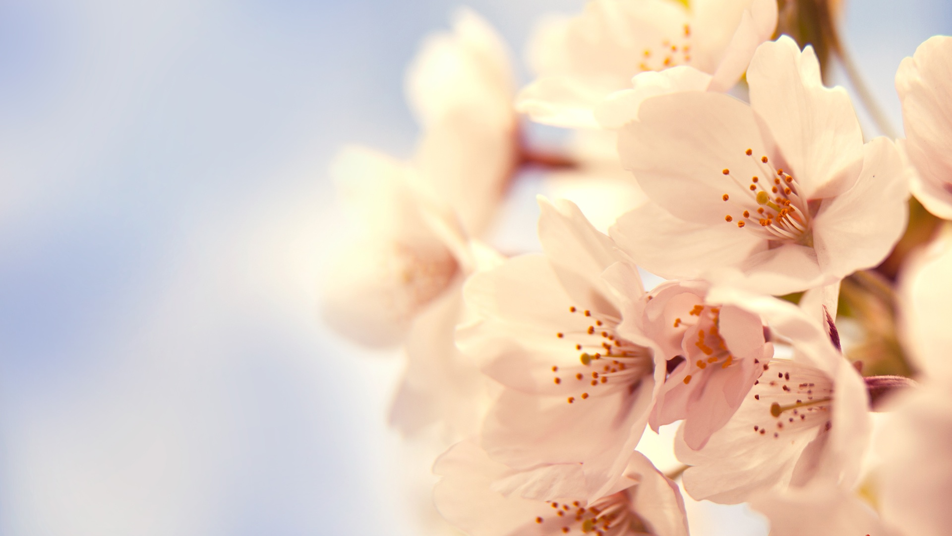 1920x1080 Cherry Blossom Desktop Pc And Mac Wallpaper