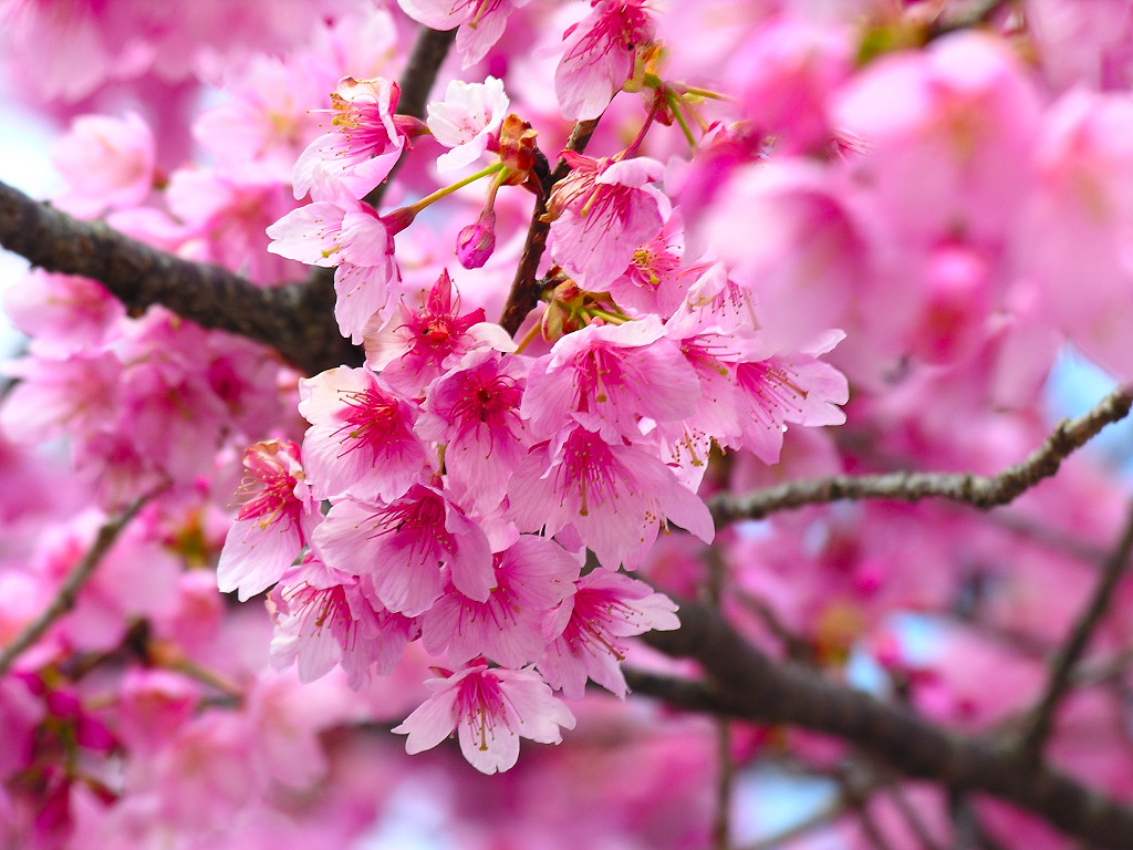 1024x768 Cherry Blossom desktop wallpapers and stock photos