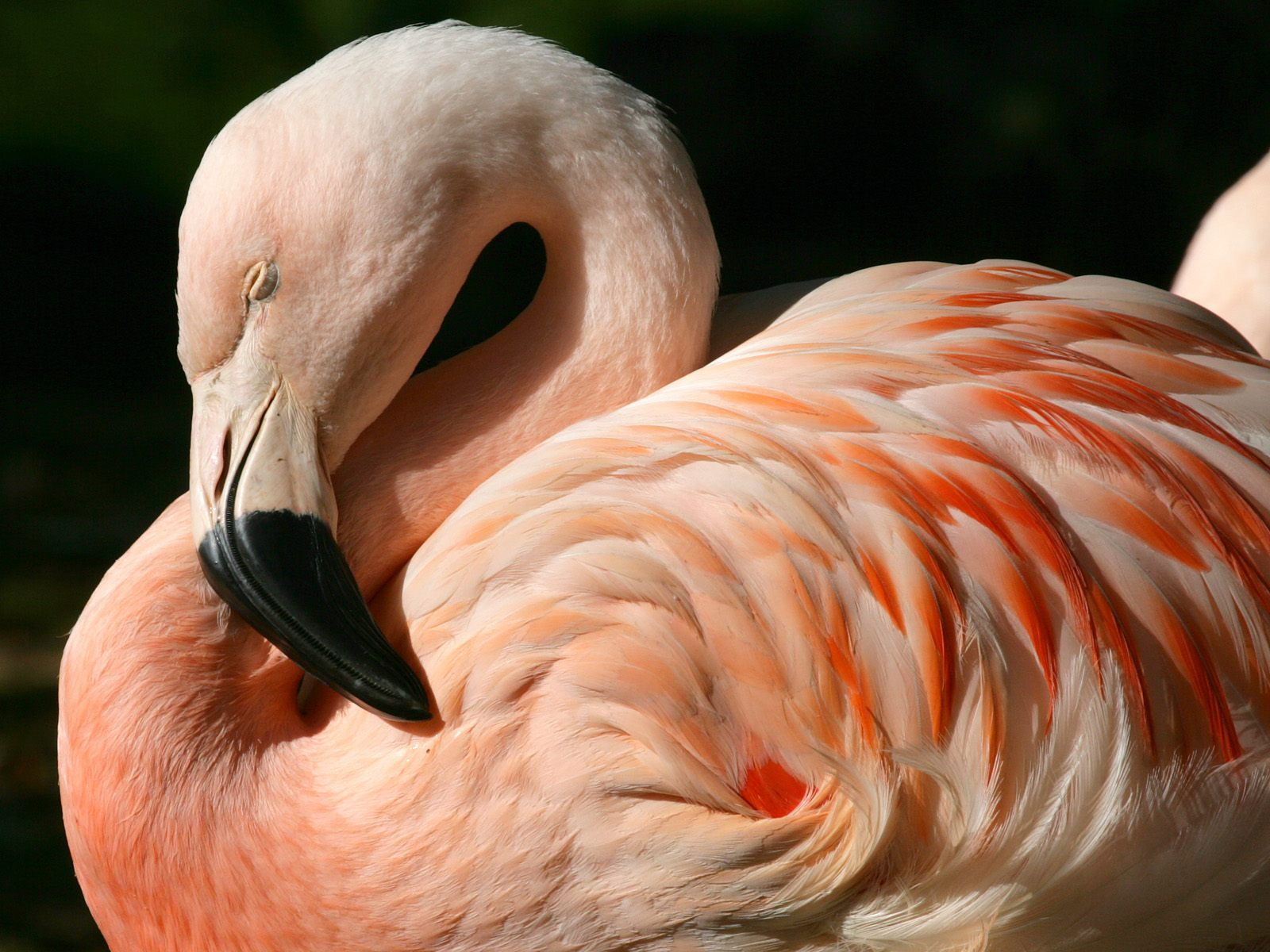 chilean flamingo wallpapers chilean flamingo stock photos