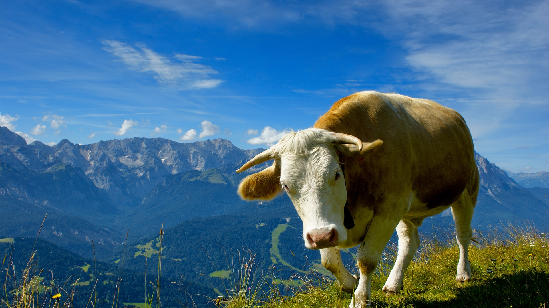 cow wallpaper by uberspot - photo #19