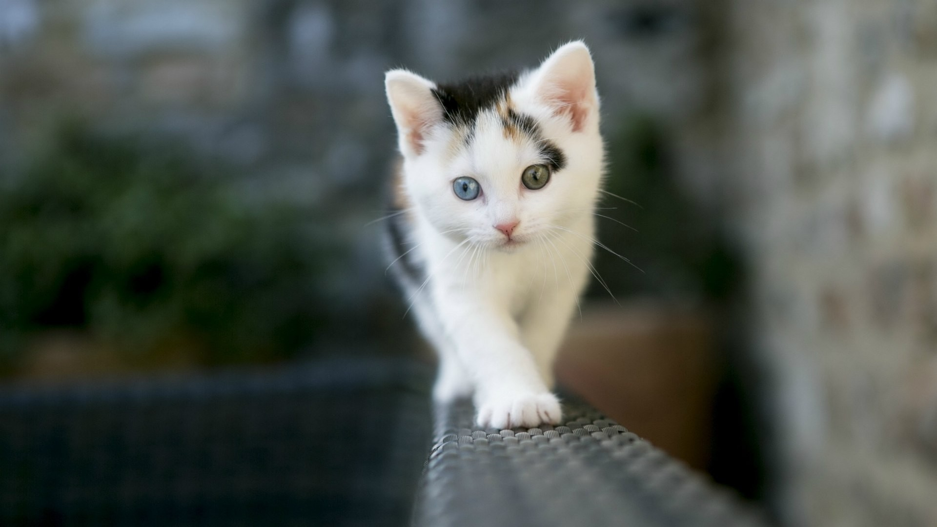 1920x1080 Cute Cat 2 Colors Eye Desktop Pc And Mac Wallpaper