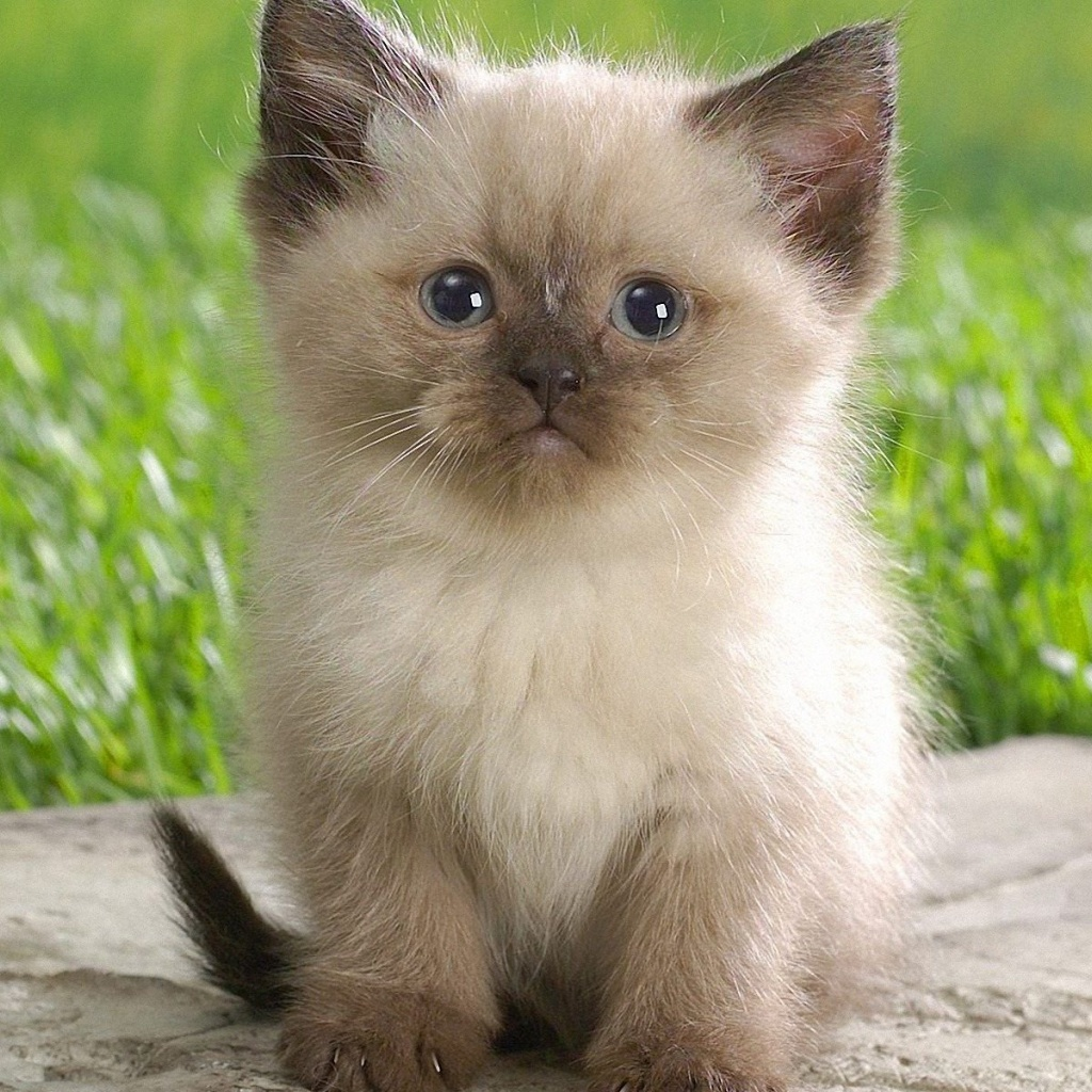 Cute Names For Himalayan Cats