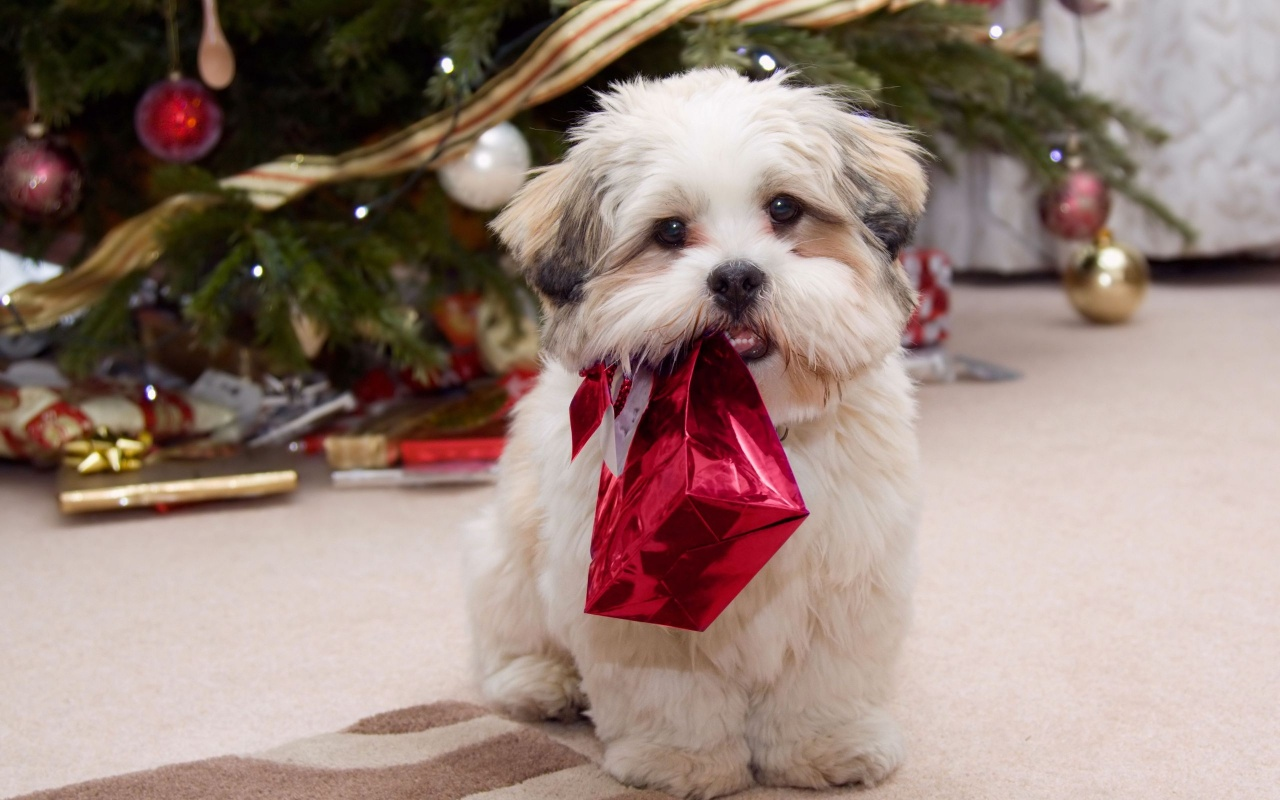 1280x800 Cute puppy with present