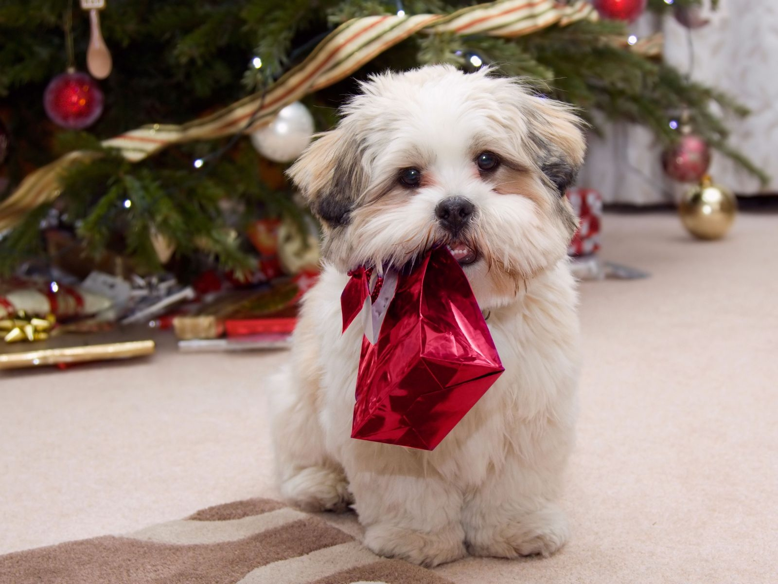 1600x1200 Cute puppy with present desktop PC and Mac wallpaper