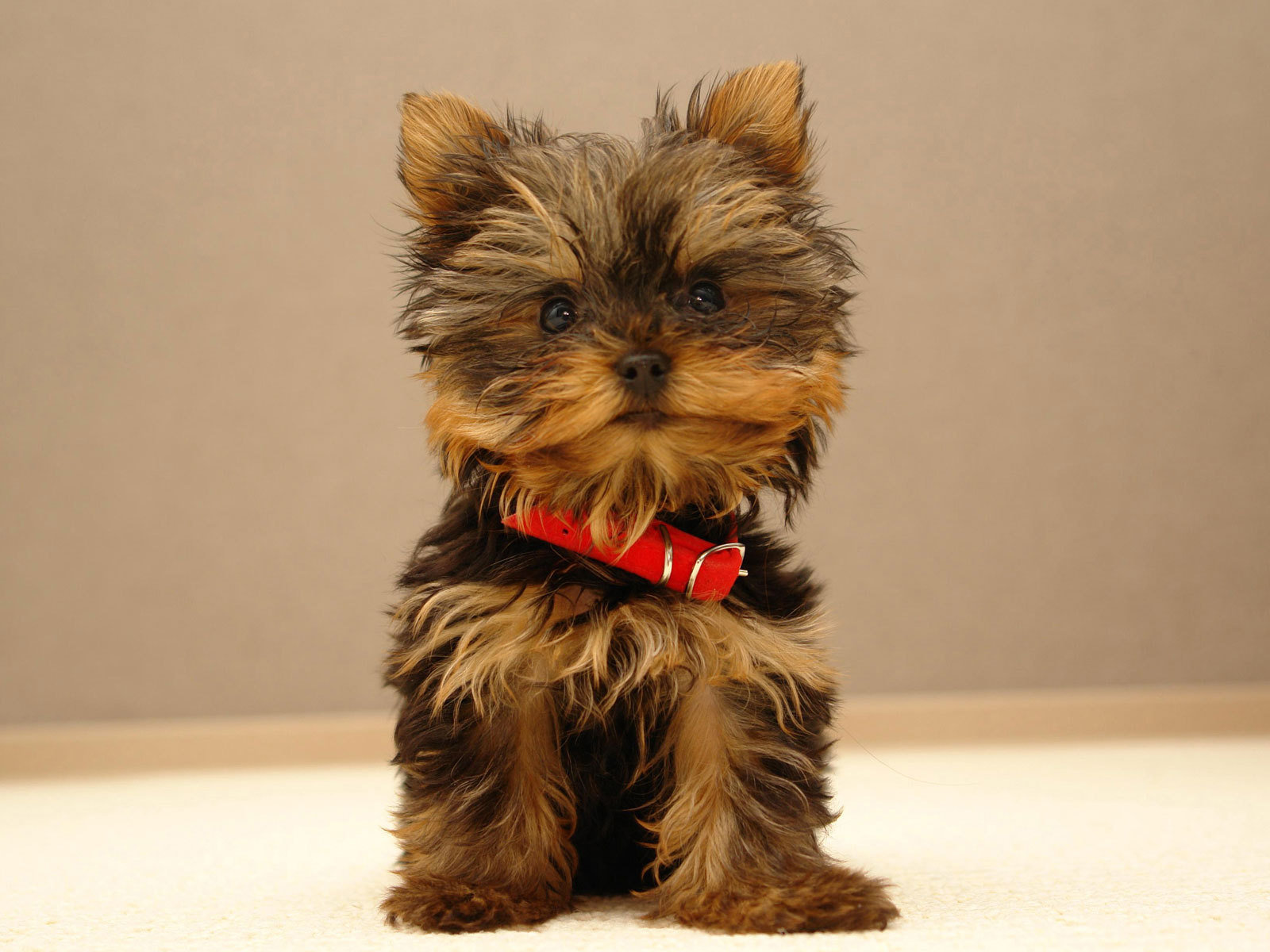 1600x1200 Cute puppy desktop wallpapers and stock photos