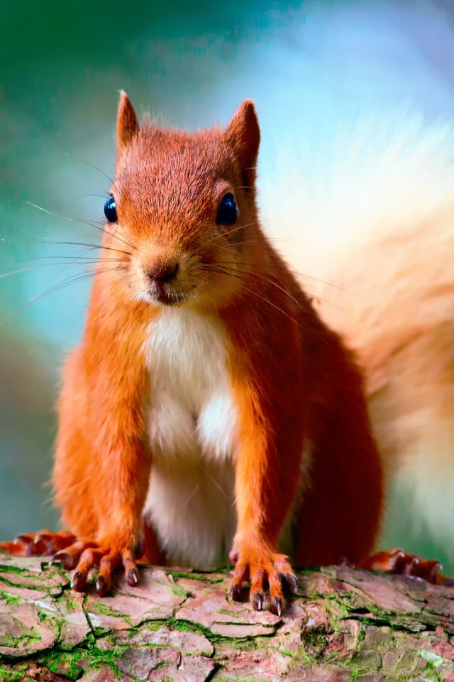 640x960 Cute Red Squirrel desktop PC and Mac wallpaper